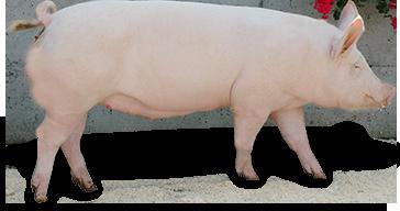 Schweizer Edelschwein (ES)