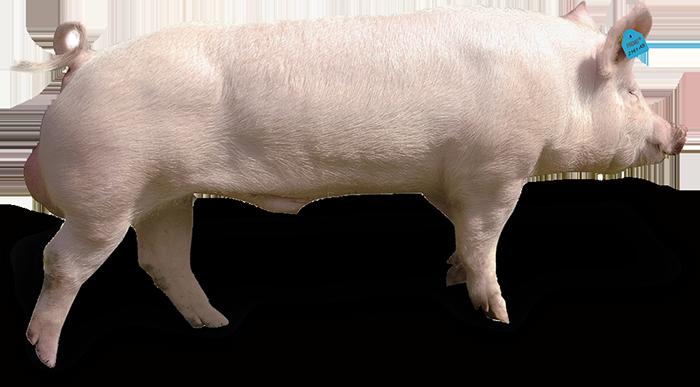 Edelschwein PREMO®